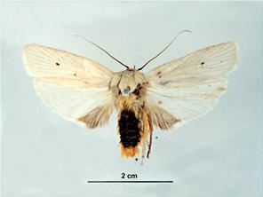 Dorsal view - female
