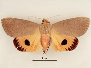 Dorsal view - male