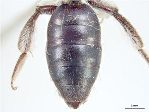 Metasoma Image - Female