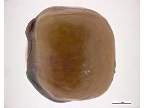 Seed Lateral