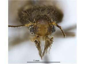 Head front - Adult